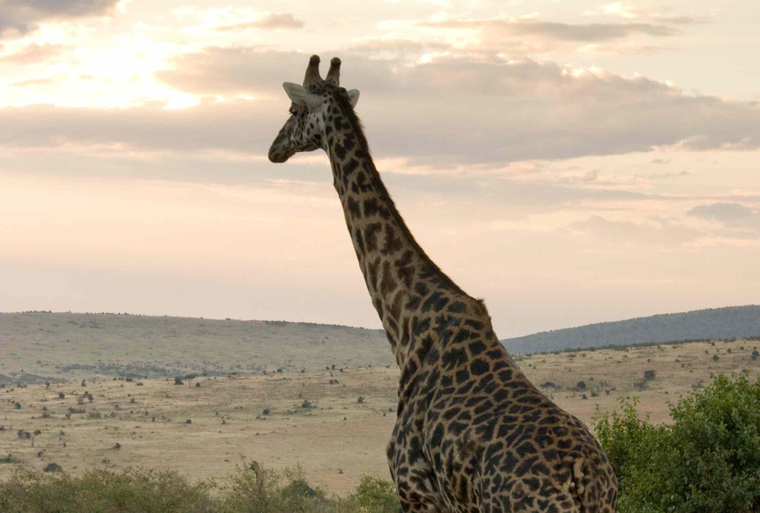 Giraffe walking toward the sunset in Kenya