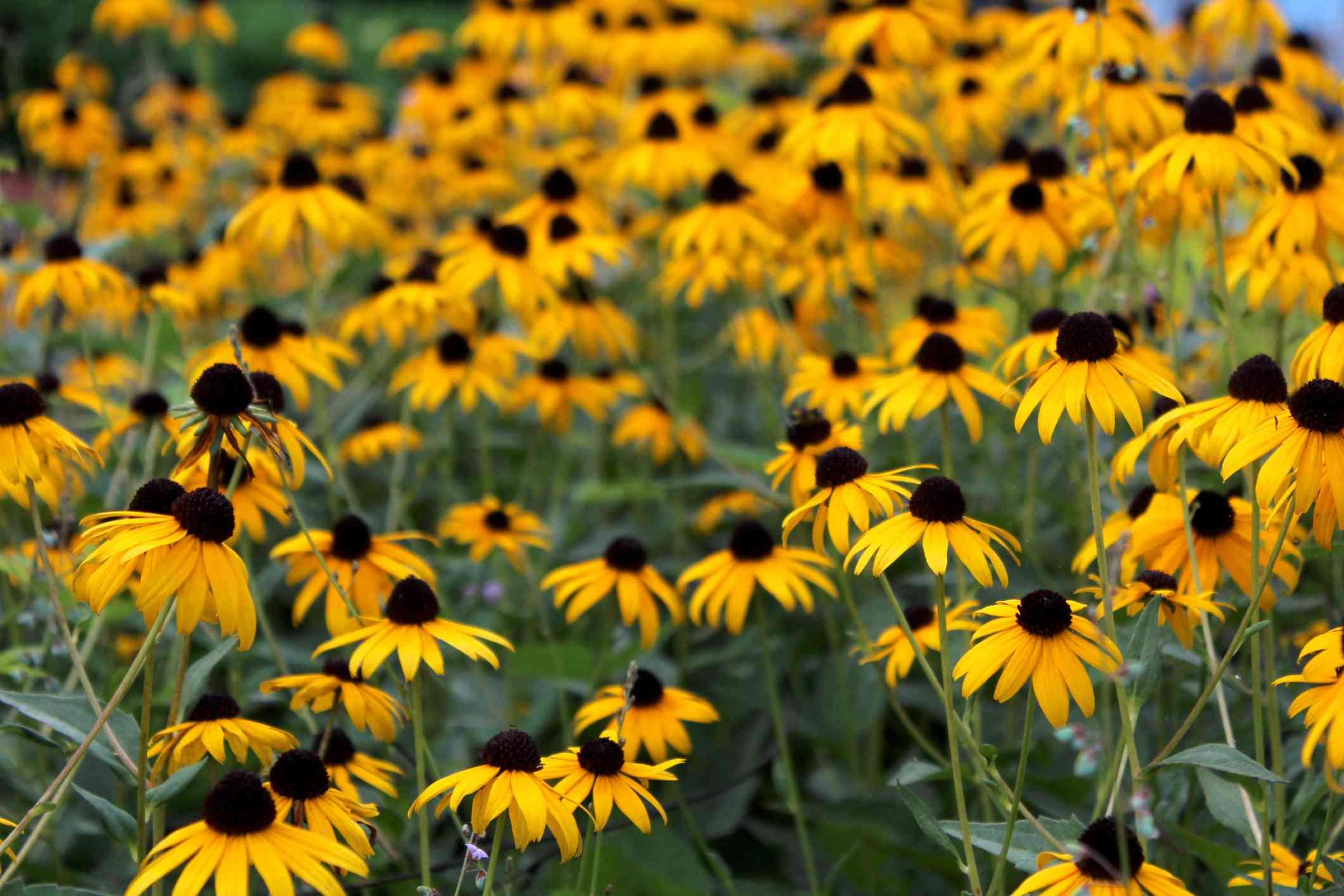 Black-eyed Susan garden