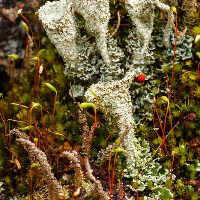 Cladonia lichens