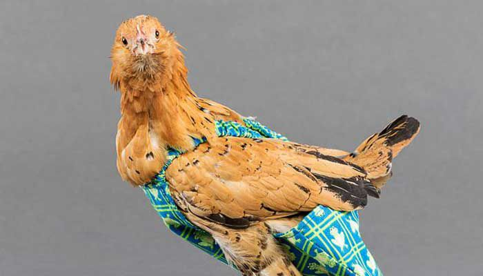 ¿Tu pollo necesita un pañal?