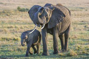 African savanna elephant and baby