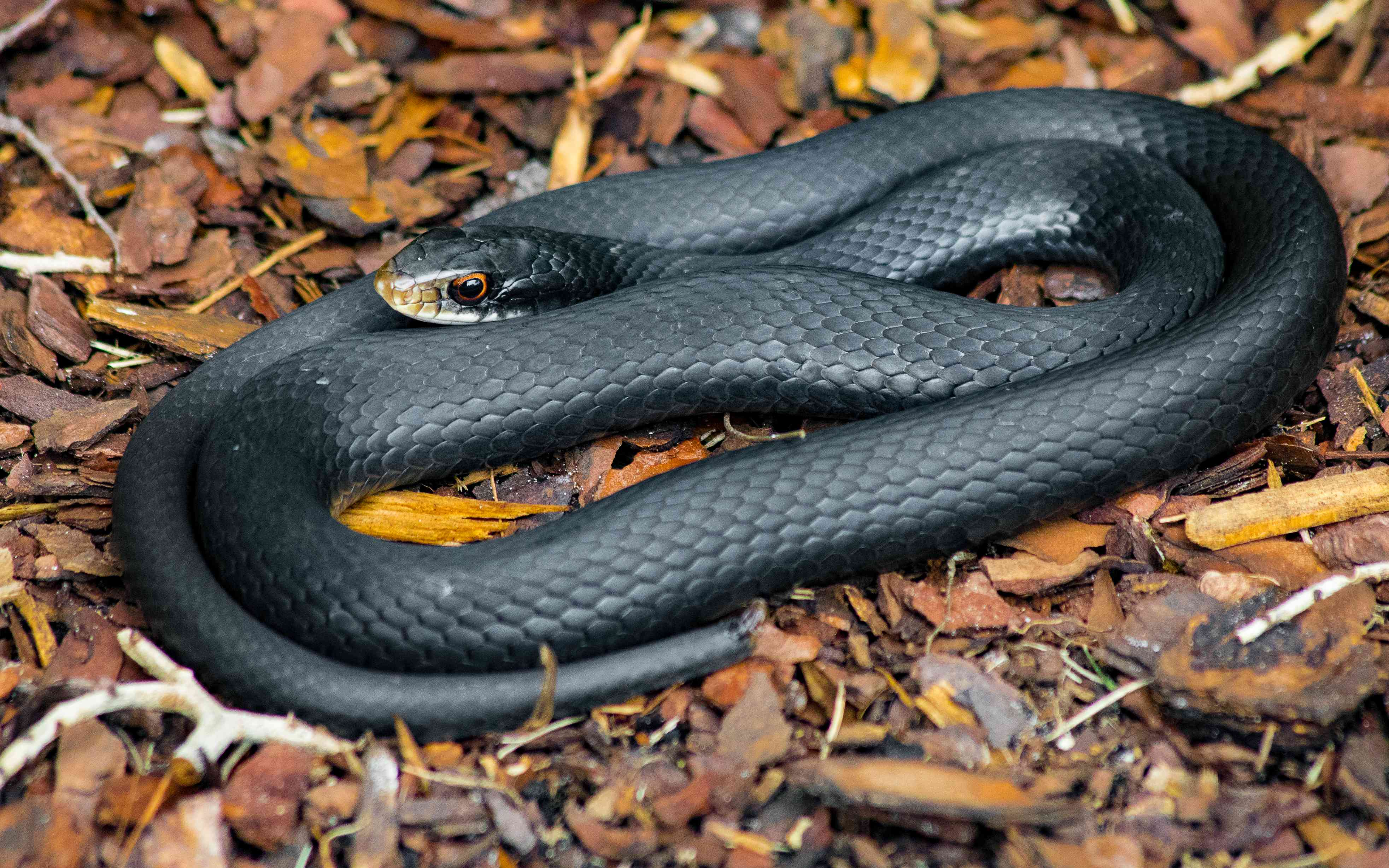 Black racer snake curled up on some mulch