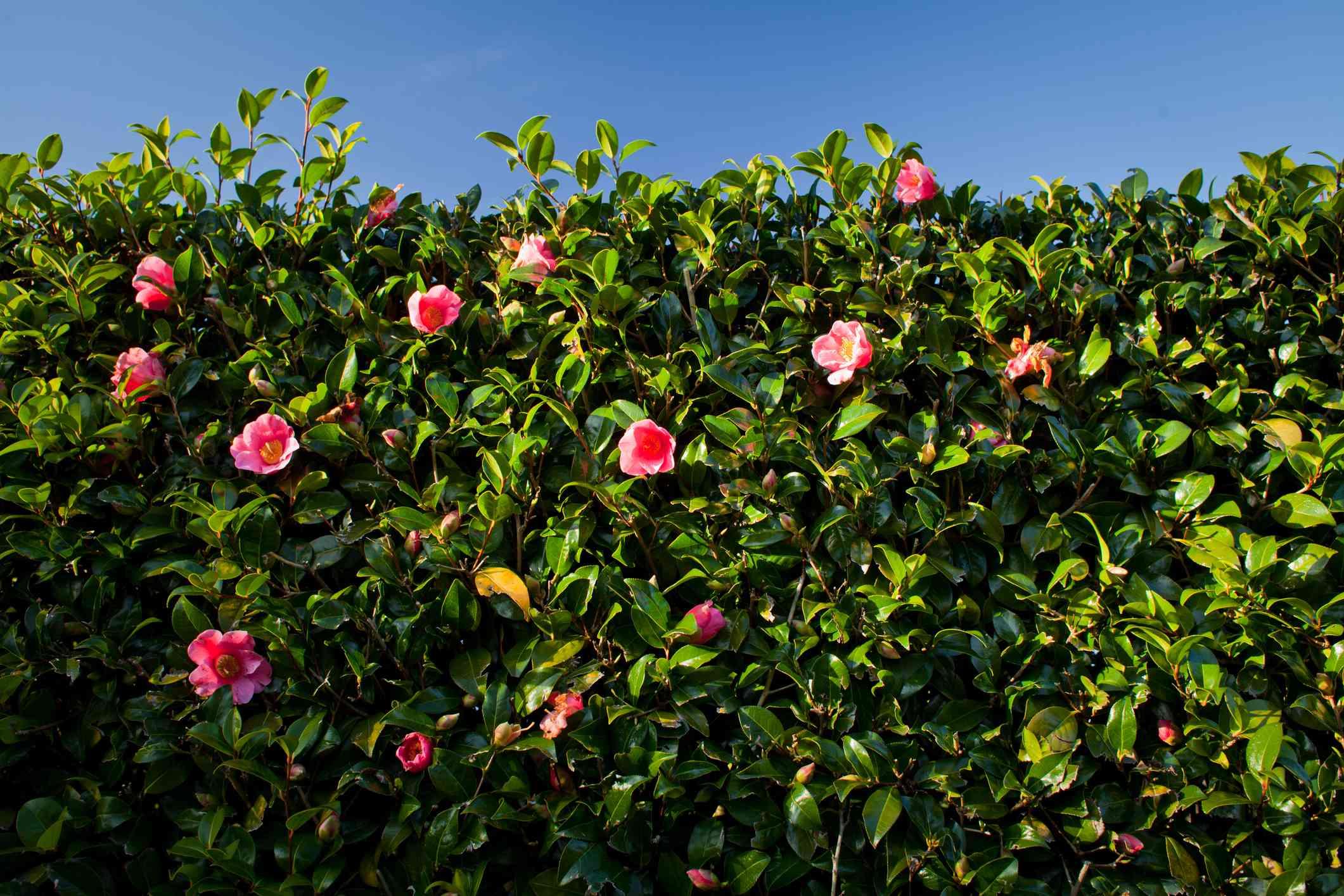A tall camellia hedge