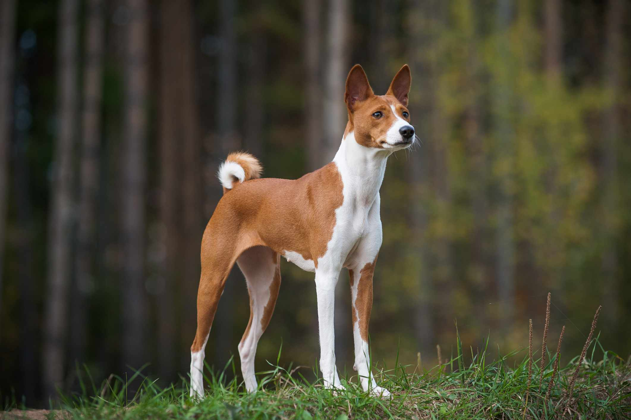 Young purebred basenji is posing on the edge of a wood