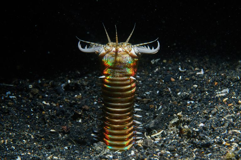 A bobbit worm extended a couple inches above the sand with its jaws open.