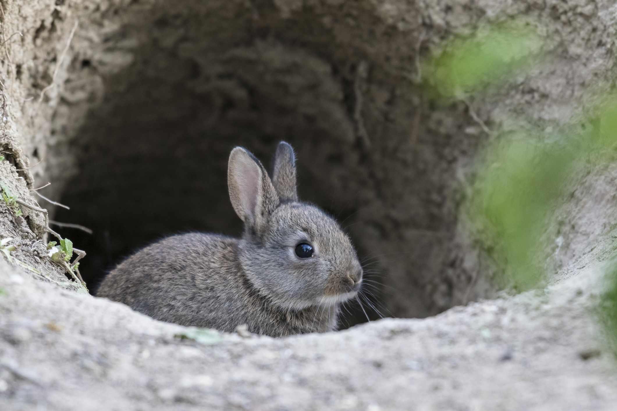 Young European rabbit (Oryctolagus cuniculus) looks curious from Bau, Lower Austria, Austria