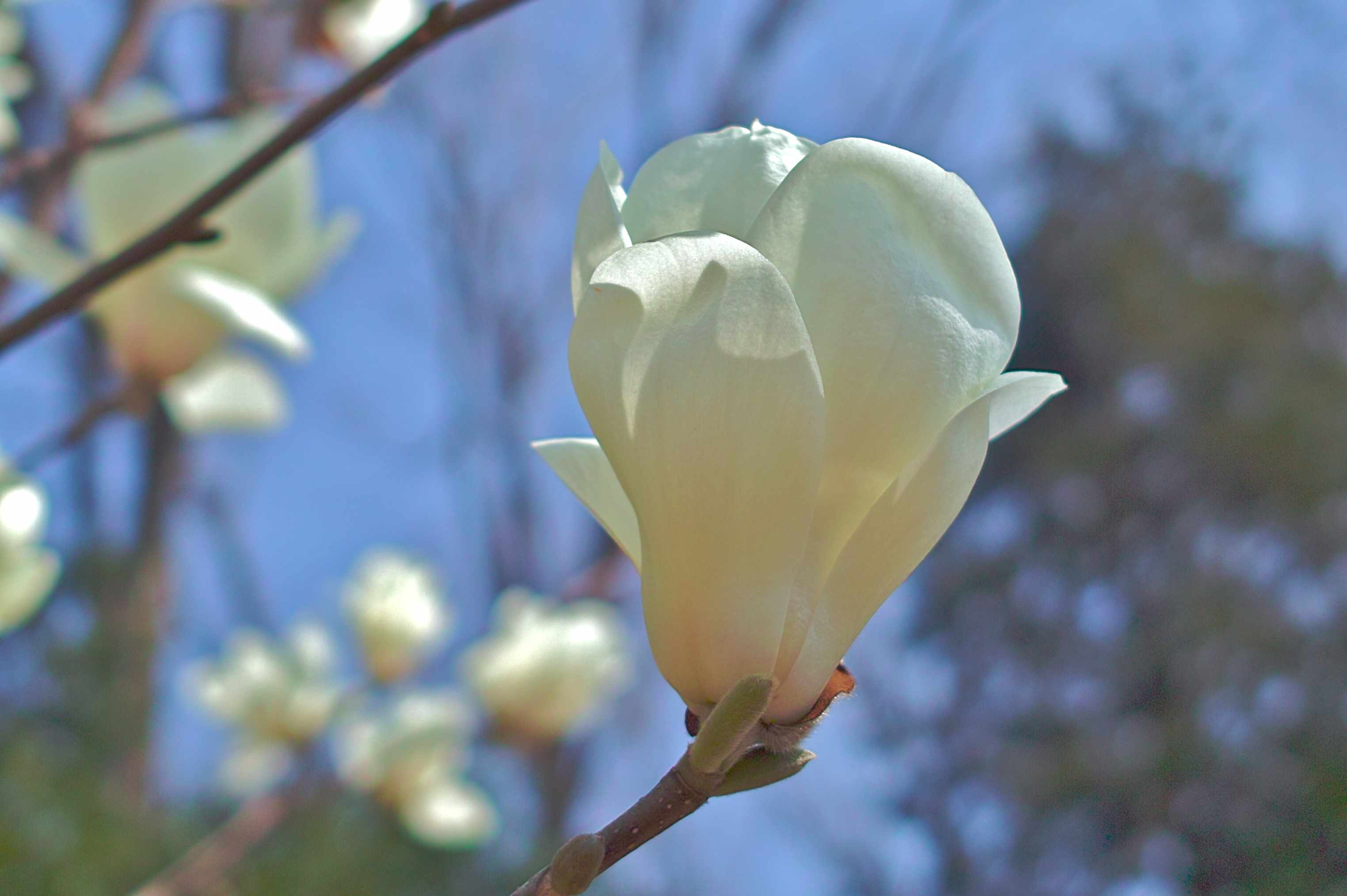 Close up of white Yulan Magnolia flowers on a branch.