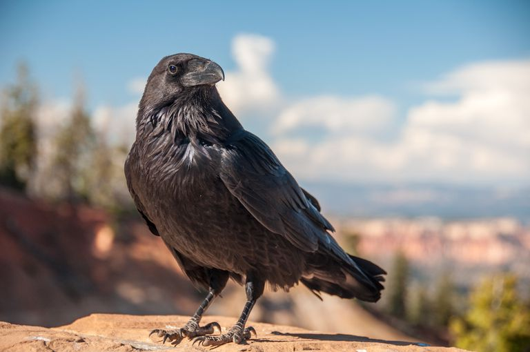 black raven standing on a rock with blue sky and white clouds behind
