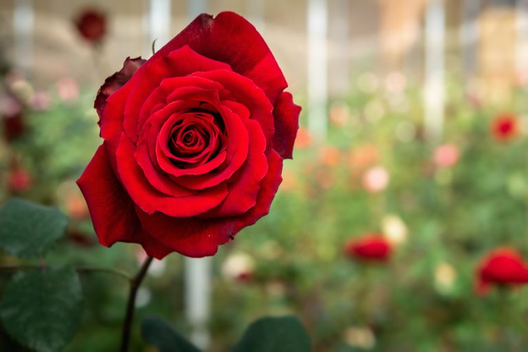 Close Up of Red Rose Flower Blooming in The Gardening Outdoors, Beauty in Nature.