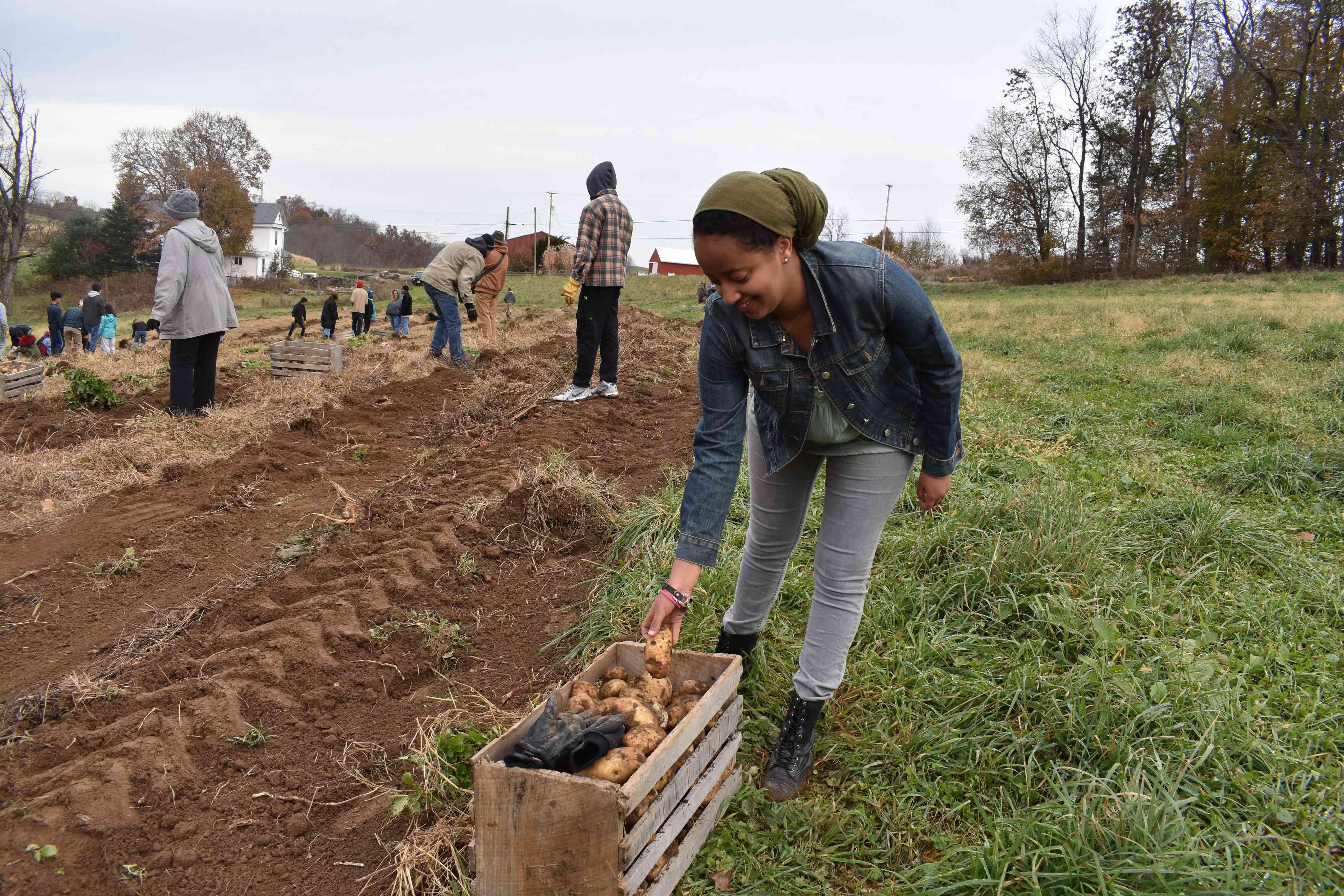 Sumeya Kasse joins students in harvesting potatoes at Olney Friends School.
