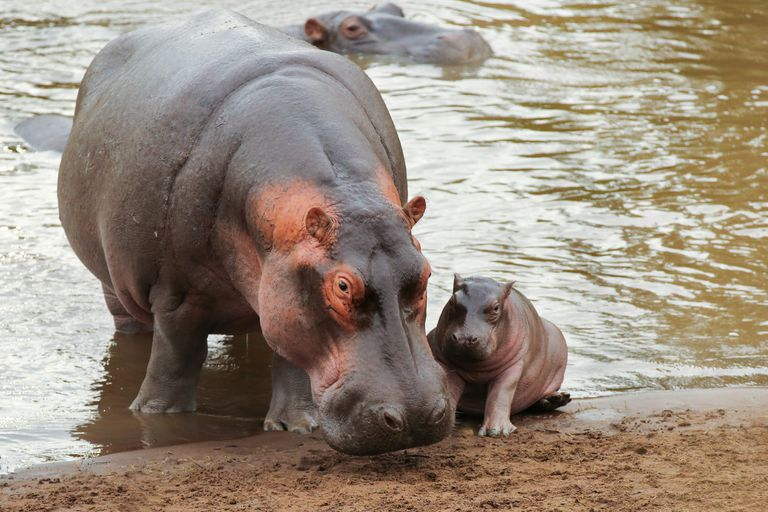 mom hipppo with newborn baby by river