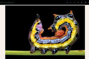 Dasylophia anguina caterpillar