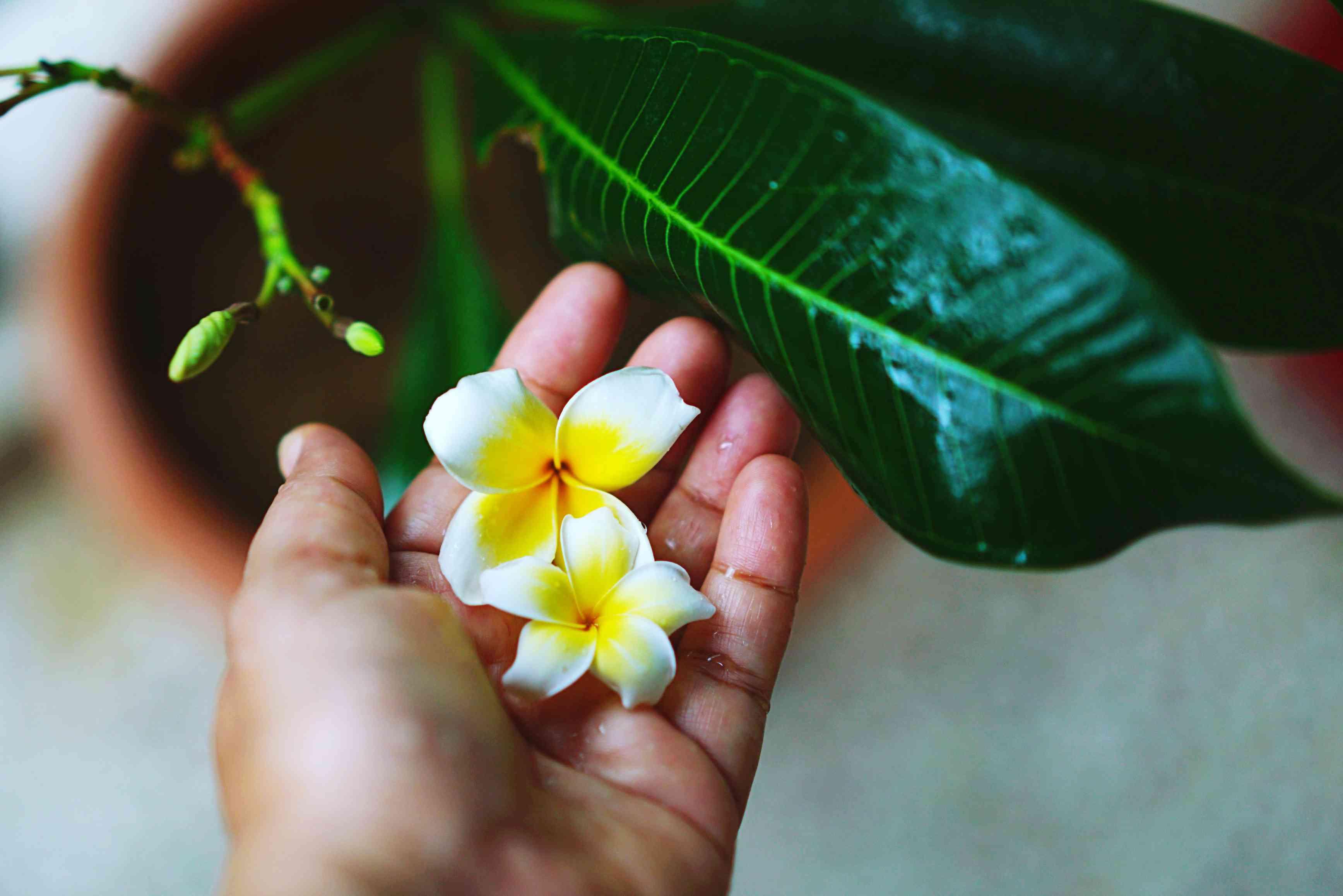Hand holding two yellow plumeria flowers