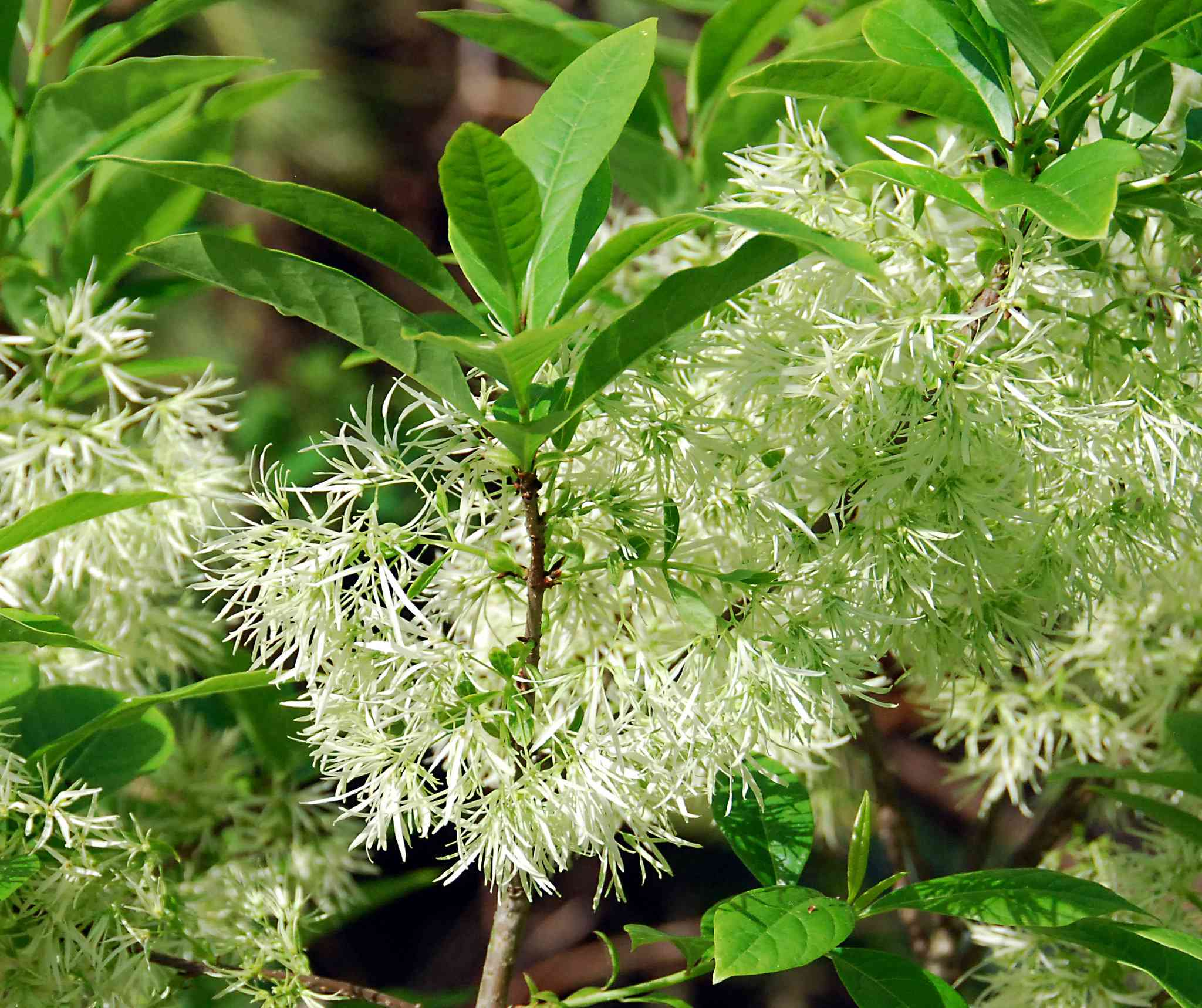 Close up of green leaves and blossoms on a Fringe tree.