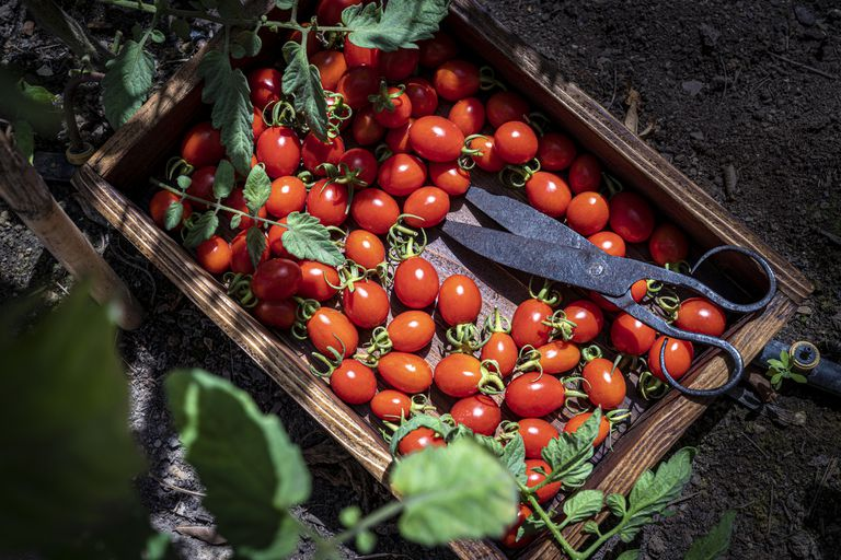 Wooden box sitting on the ground filled with harvested cherry tomatoes