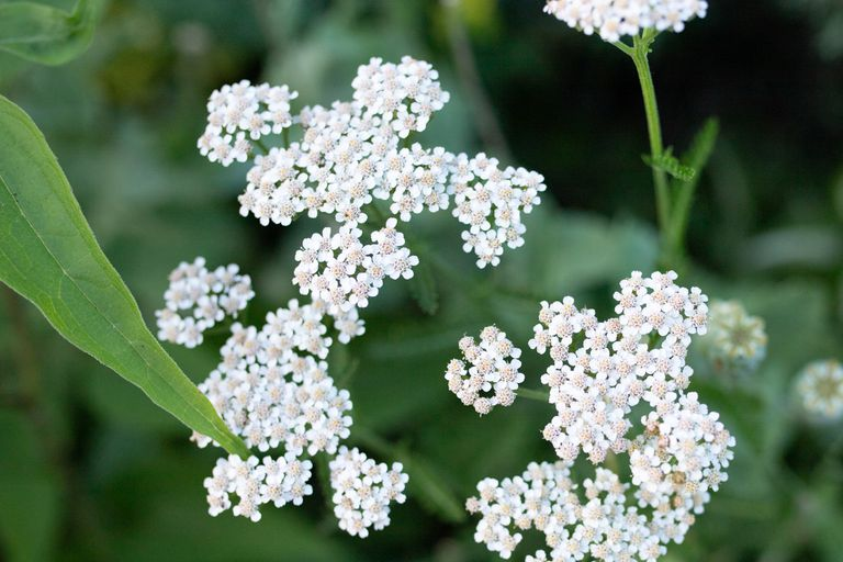 white yarrow flowered plant attracts honeybees