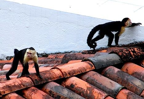 capuchins invade rio photo