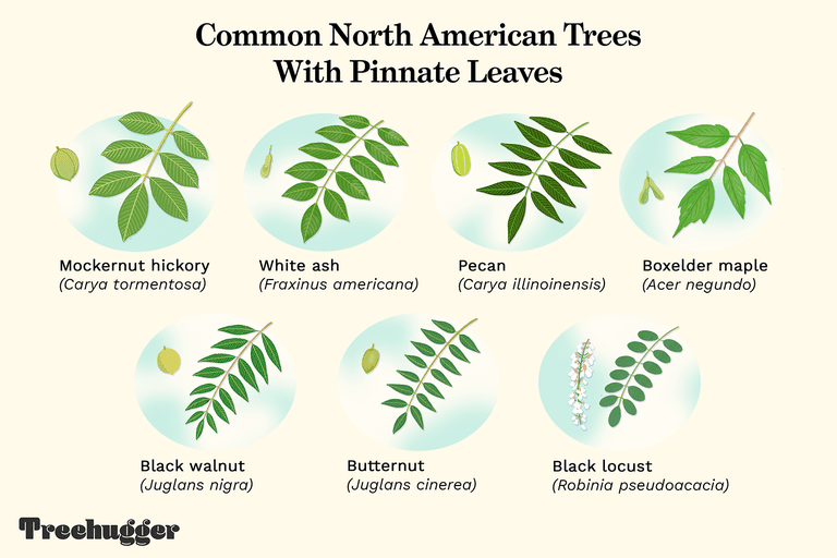 Common North American Trees with Pinnate Leaves