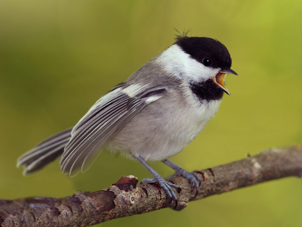 If you ever wonder how the chickadee got its name, just listen to its call.