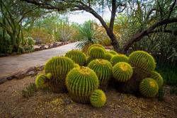 Desert Botanical Garden golden barrel cactus