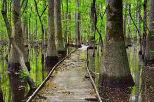 walking path through wetlands at Congaree National Park with cypress trees on both sides