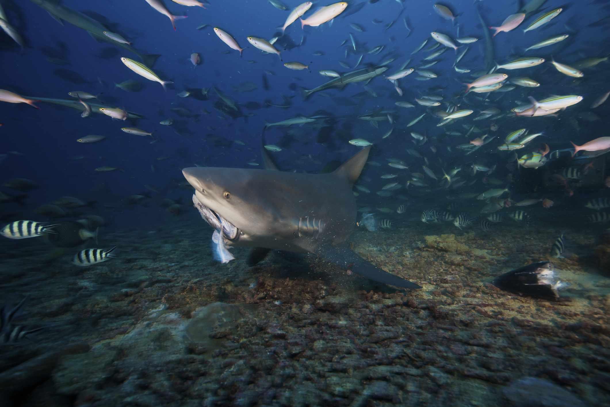 A bull shark bites into a tuna off the coast of Fiji.