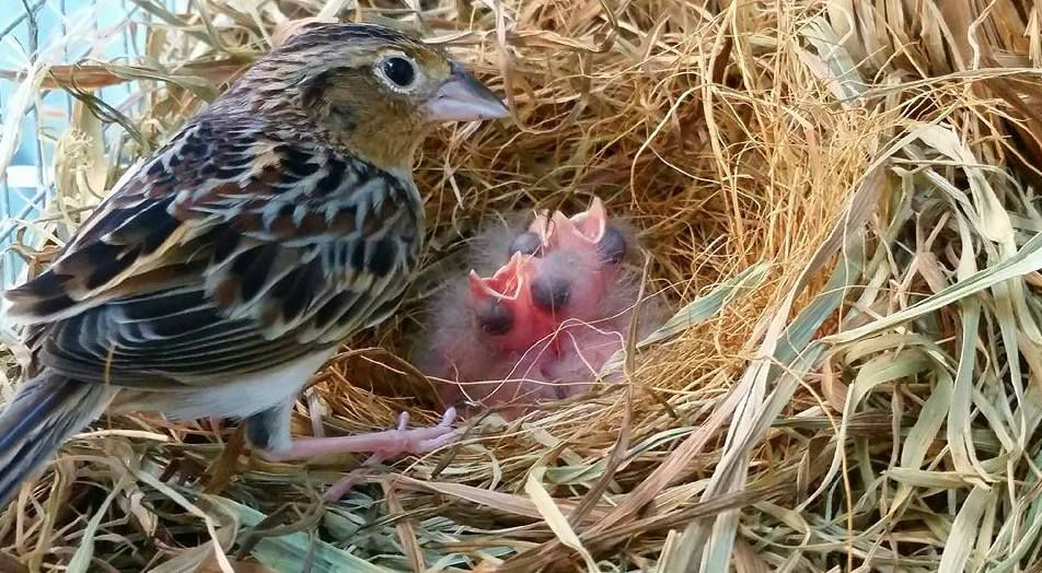 Florida grasshopper sparrow tending to its nest with two fluffy baby birds with open beaks.