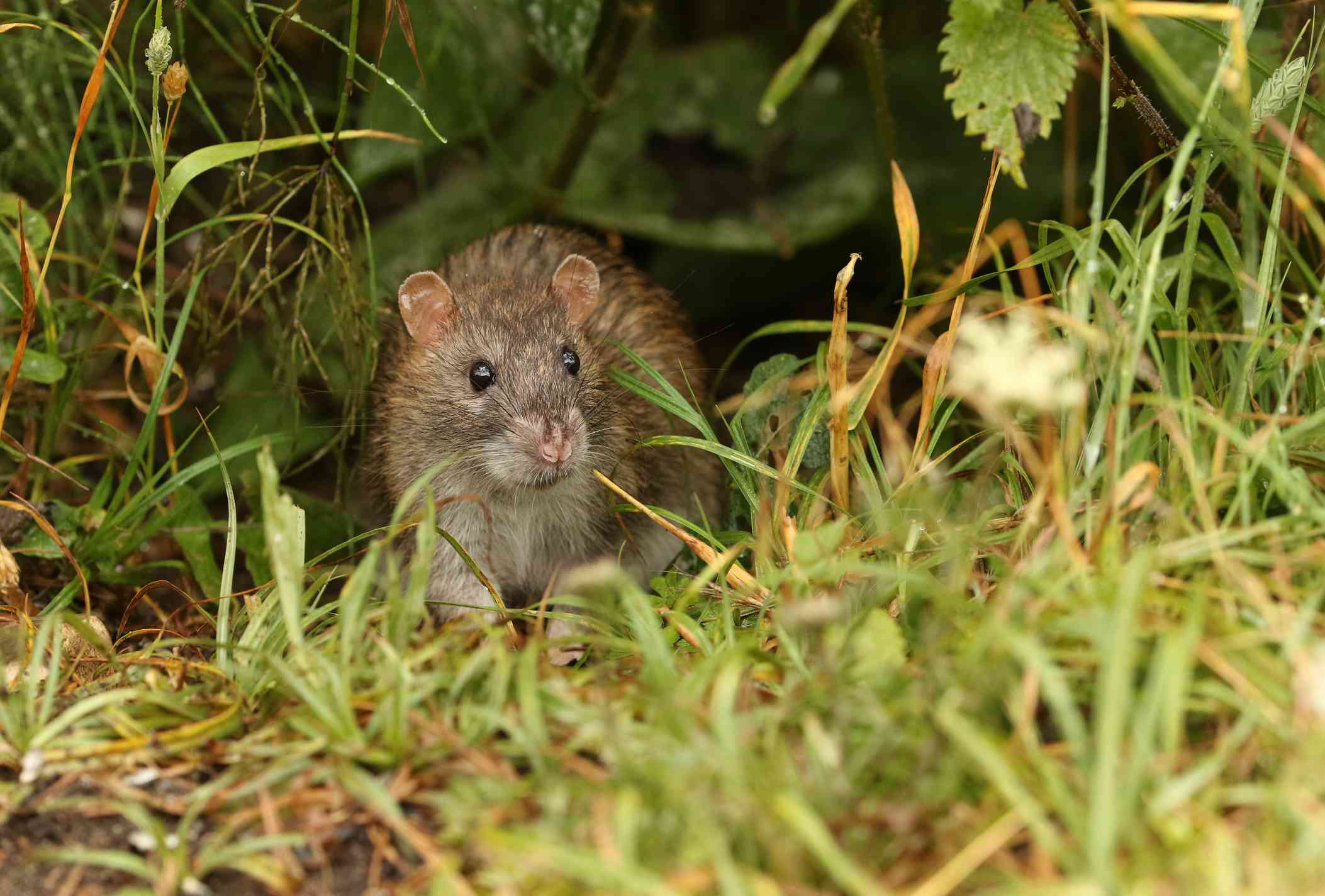 A brown rat crouching in a field of grass