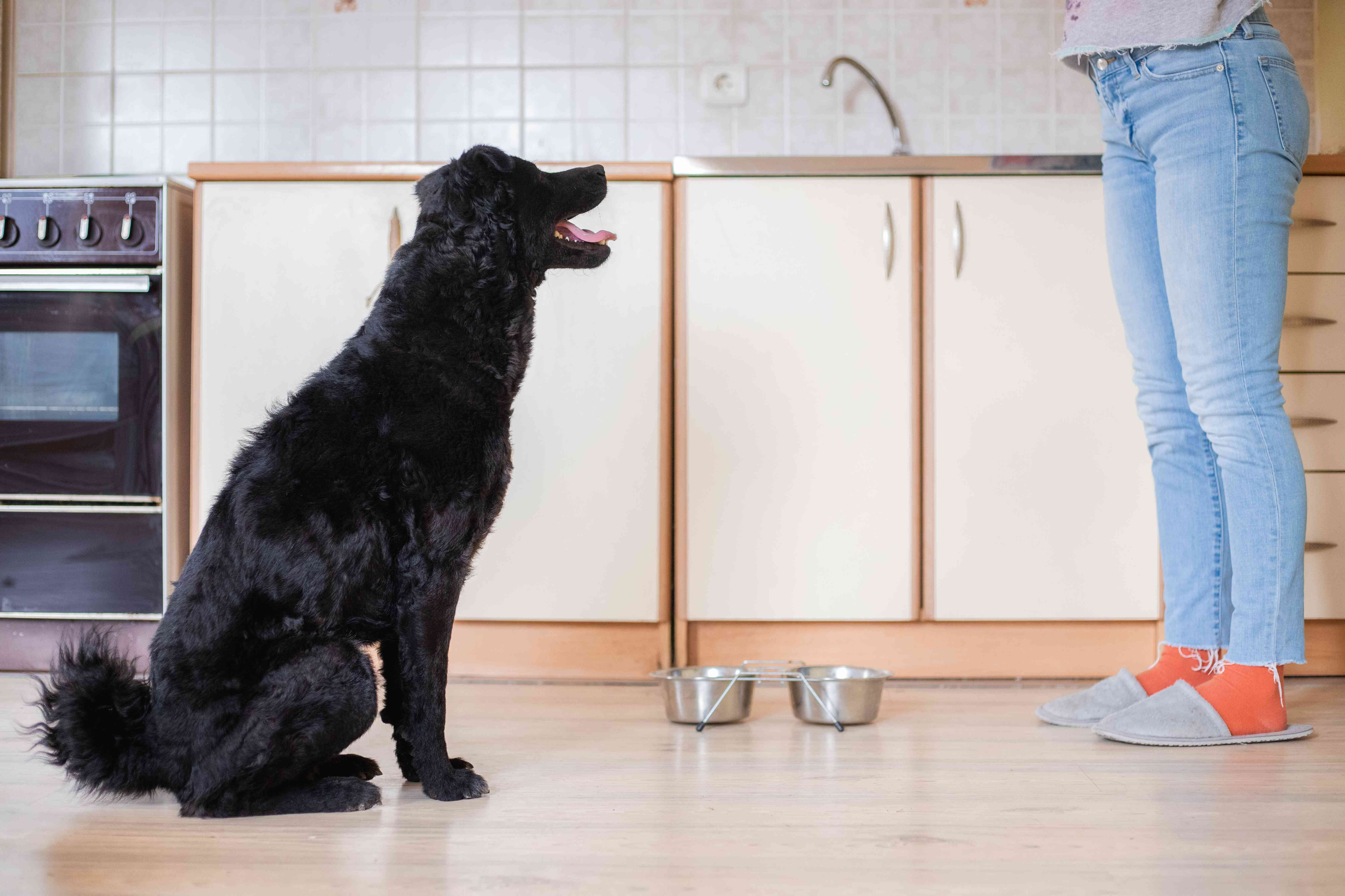 dog stares at human owner in kitchen next to empty dog bowl