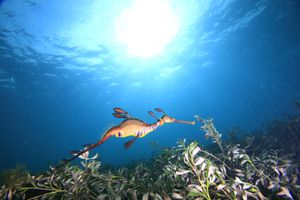 A male weedy sea dragon swimming in shallow water with sunlight shining through from above