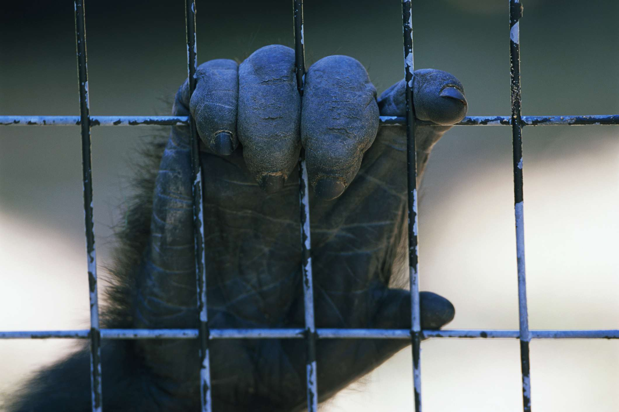 A gorilla hand holds onto a cage.