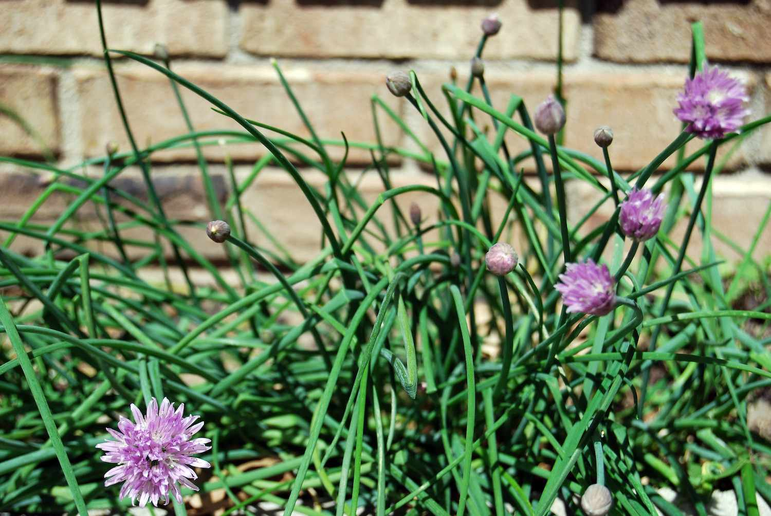 Chives grow in front of a brick wall