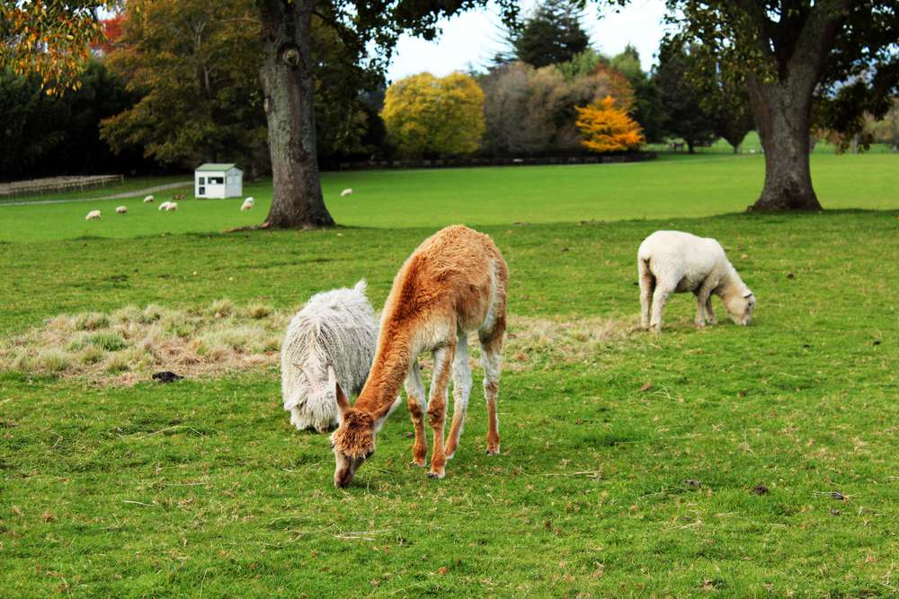 A llama grazes with sheep in a pasture