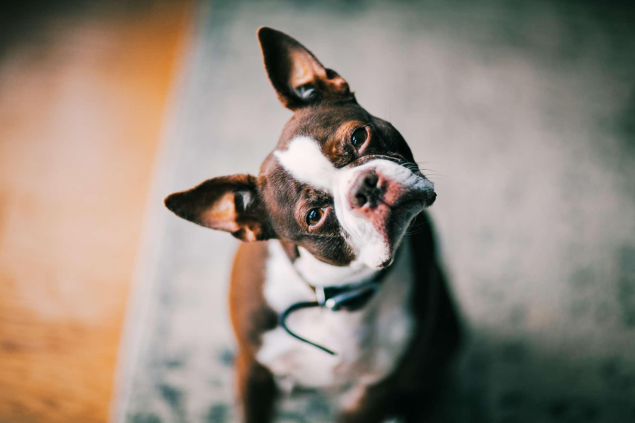 A French bulldog tilts its head at the camera.