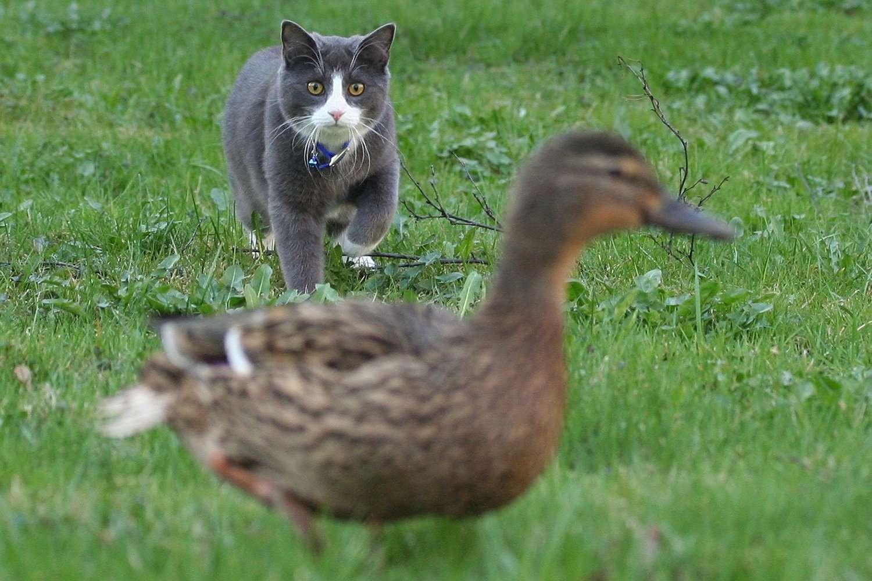 Cat Stalking a Duck