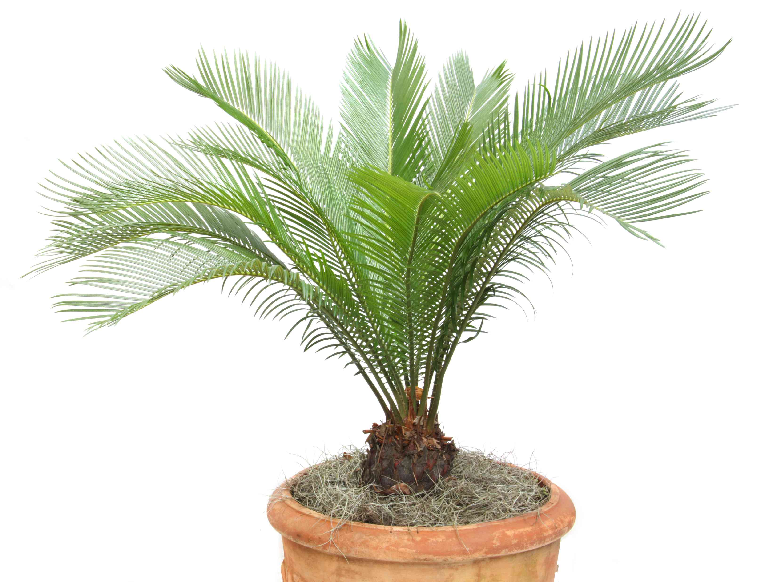 Japanese sago palm in a pot