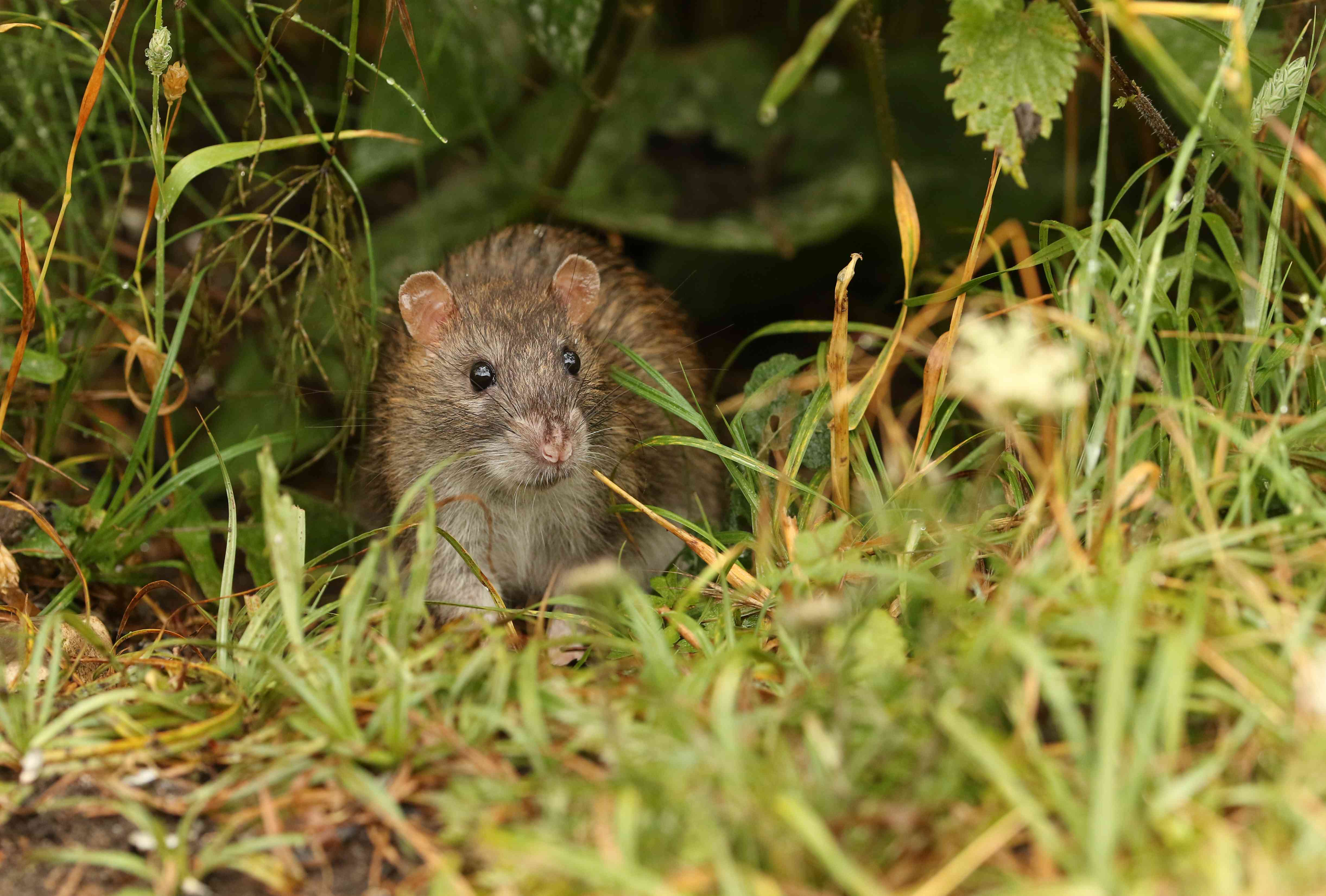 A wild Brown Rat, Rattus norvegicus, eating seeds on the ground at the edge of a lake.