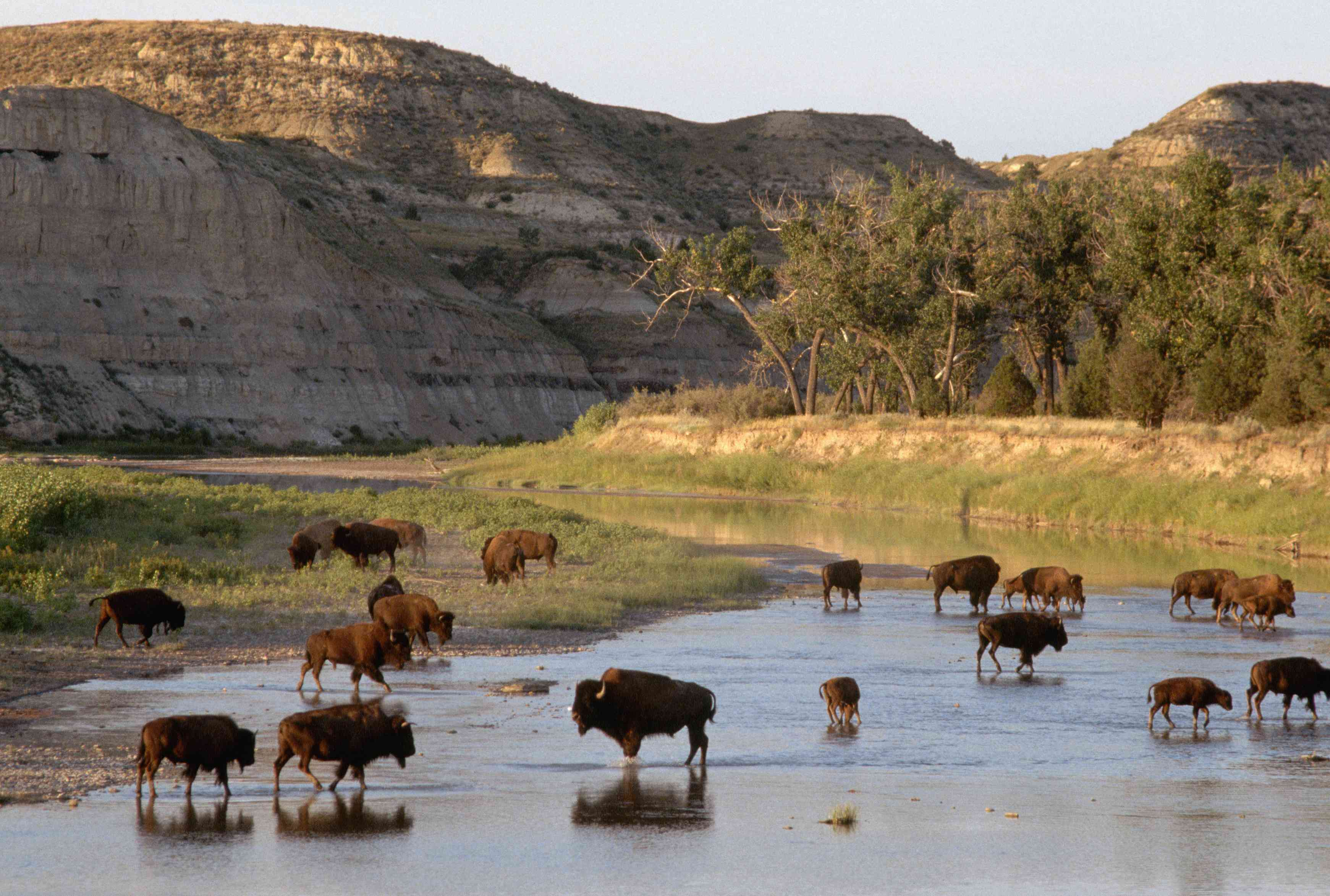A group of bison wading in a river in front of the badlands landscape of Theodore Roosevelt National Park in North Dakota