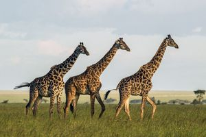 three female giraffes