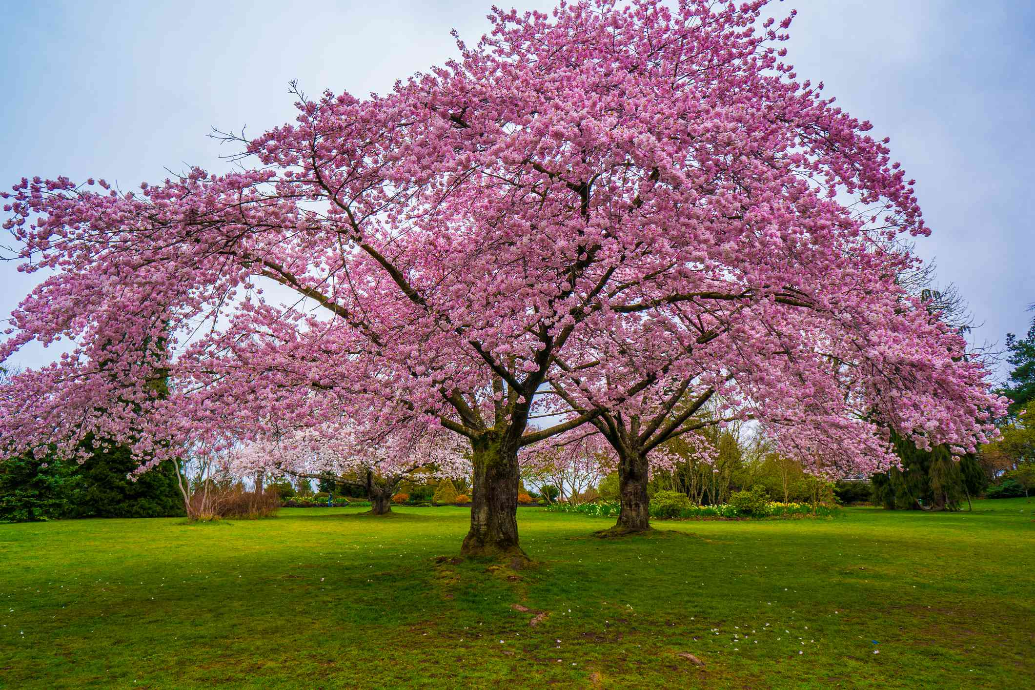 Large, bright pink cherry blossom trees in bloom on a large, wide lawn in Elizabeth Park, Vancouver under a blue sky