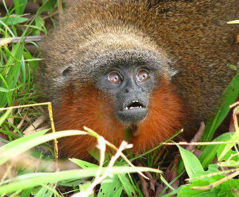 Titi Monkey Photo