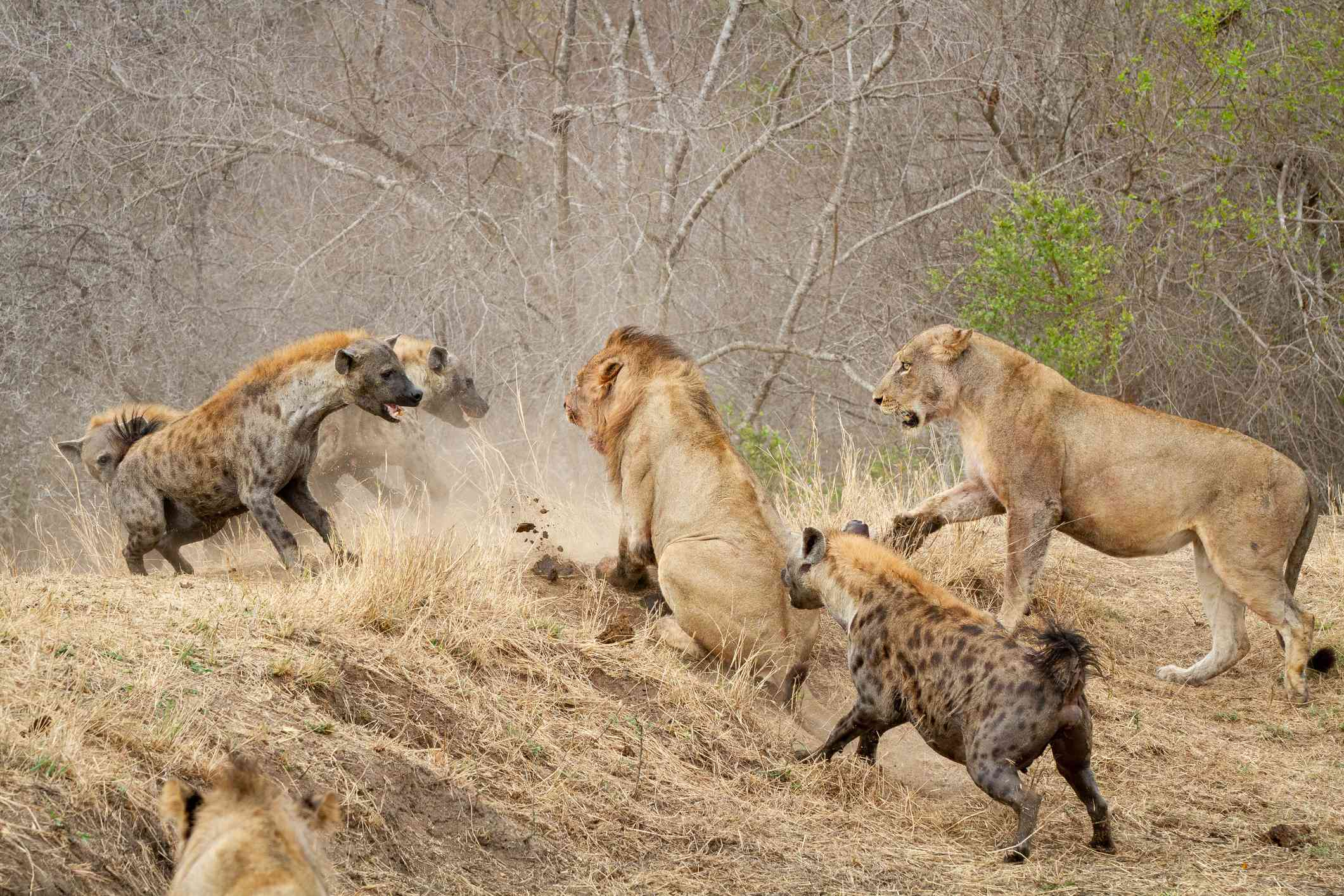 Hyenas attacking lions