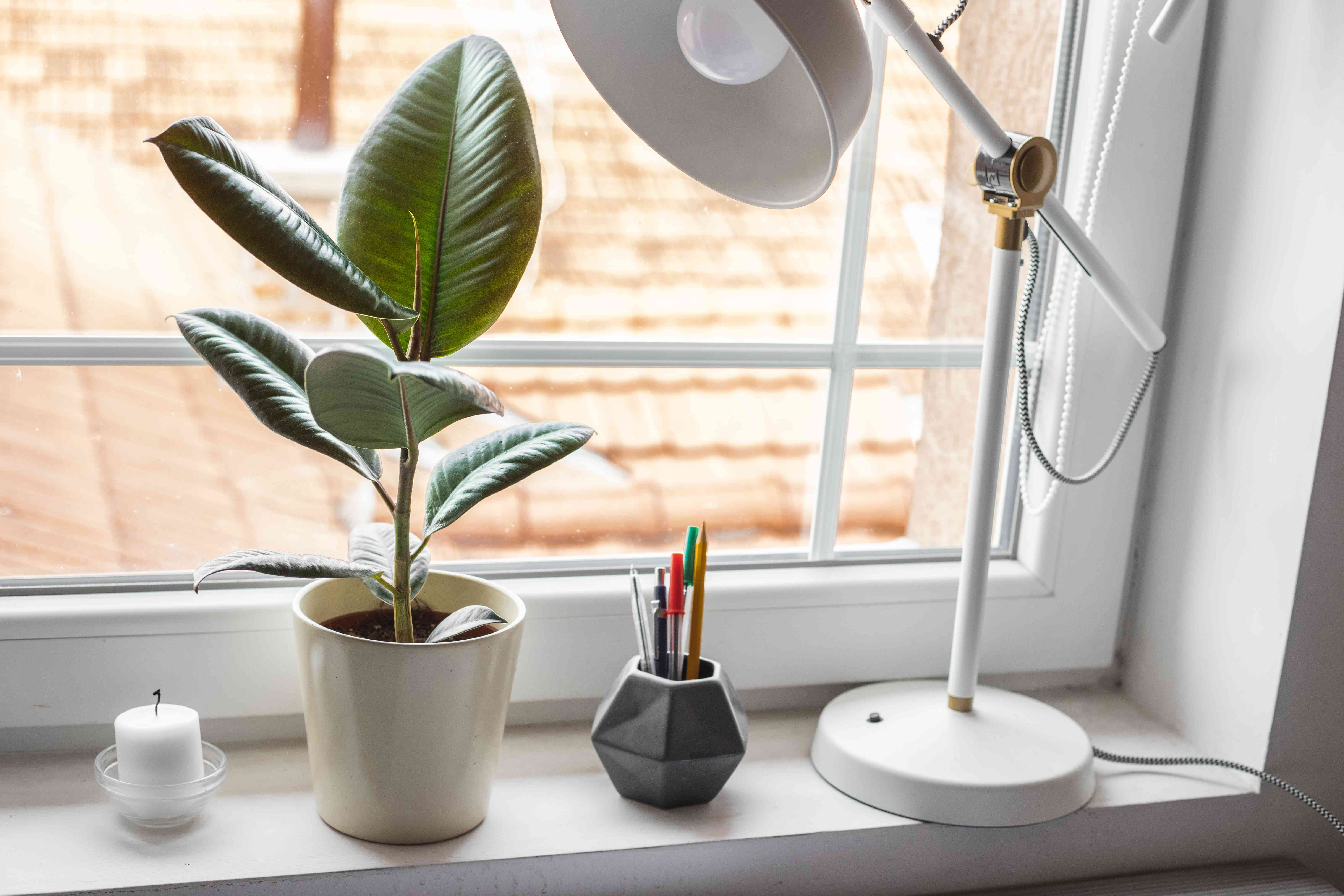 small rubber fig plant in windowsill next to office supplies