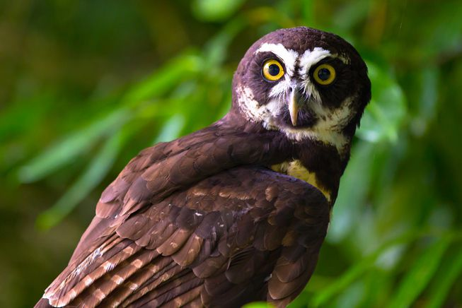 A spectacled owl in a rainforest