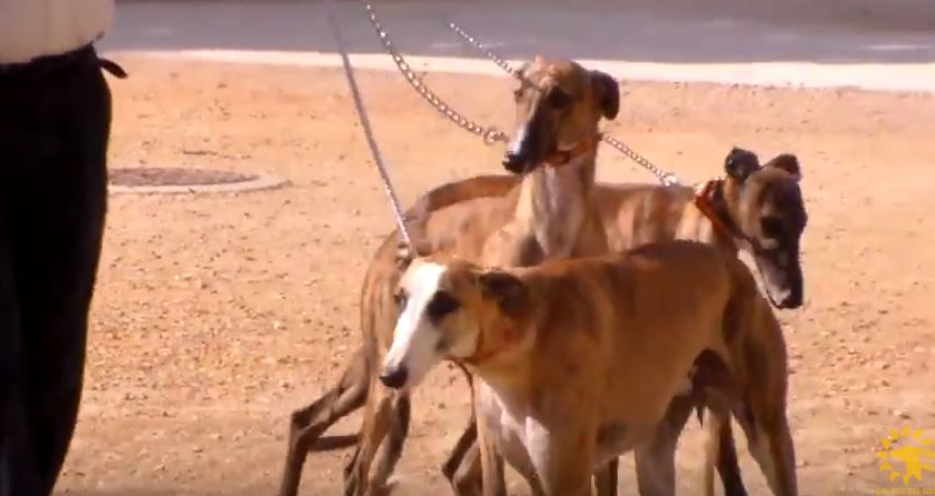 Three galgos on chains alongside their owner.