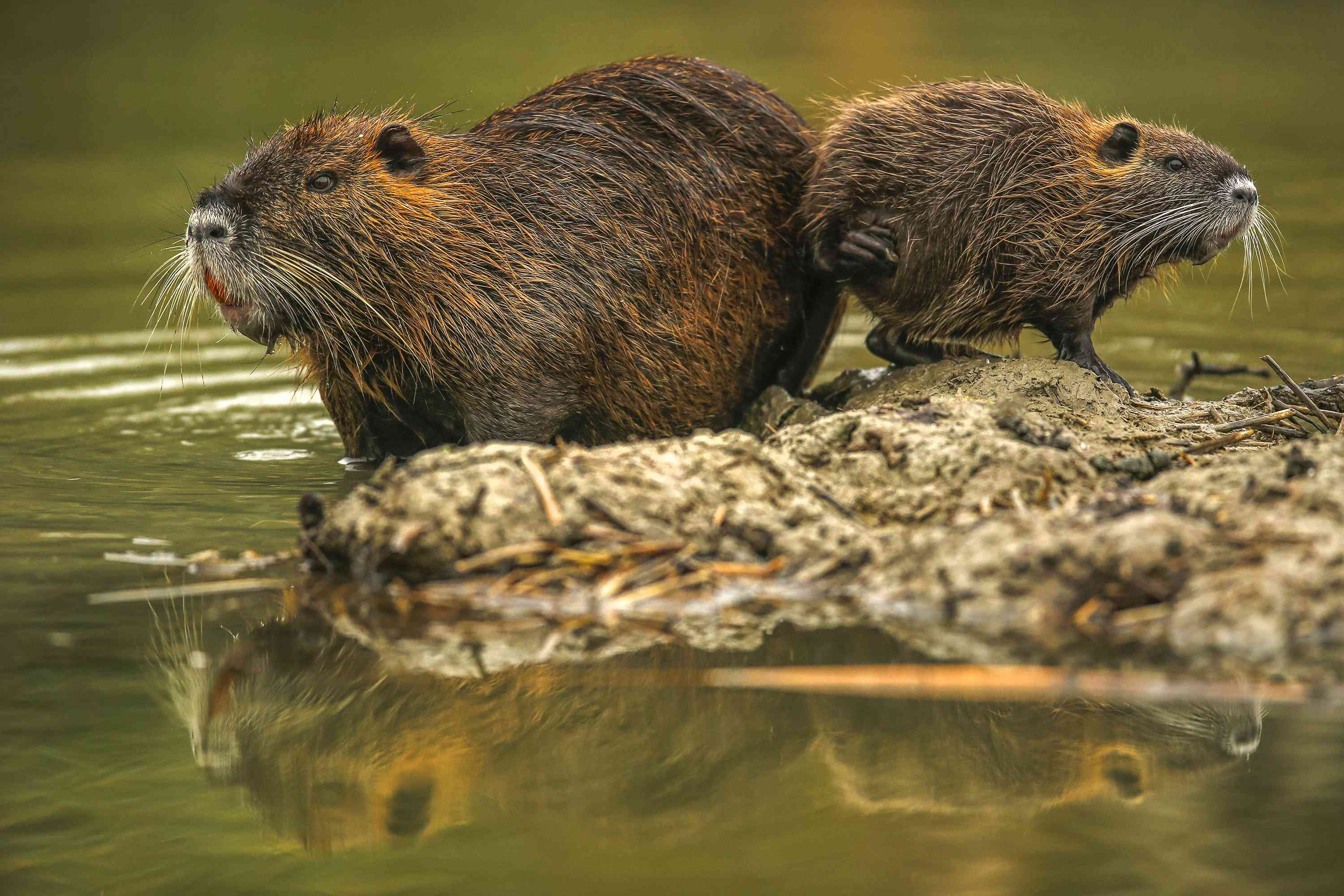 Mother and child nutria pair