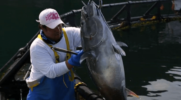 FArmed bluefin tuna photo