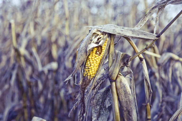 Rotten ear of corn