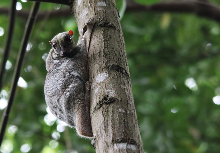 Sunda flying lemur with tiny red ears clinging to a palm tree trunk