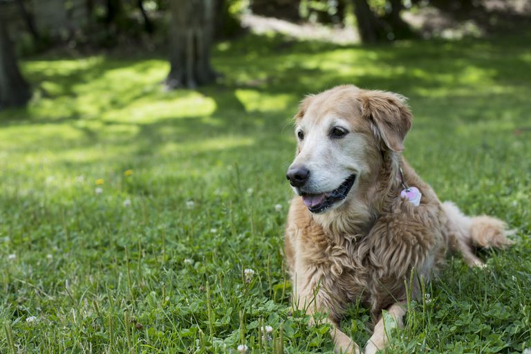 Senior Golden Retriever laying in the grass